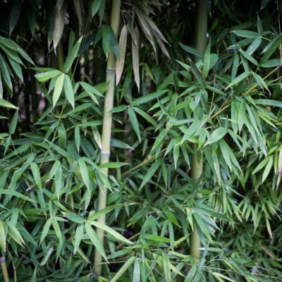 Cameron Park Bamboo