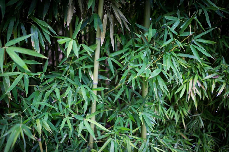 Bamboo At The Zoo 2017-08-09