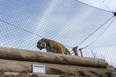 Pacing Tiger 2017-12-05